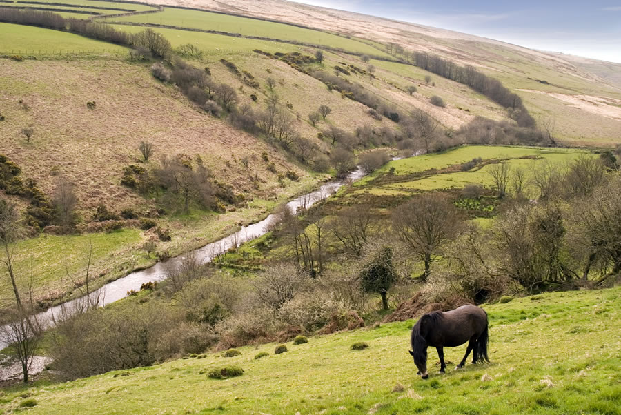 Vallery with Exmoor Ponies