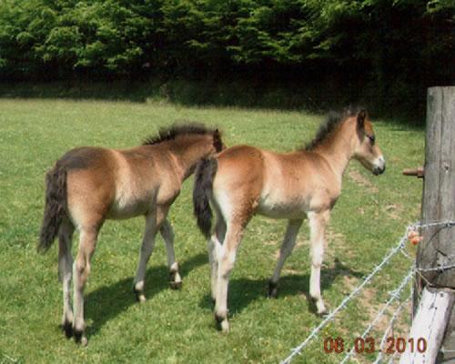 Exmoor Foals